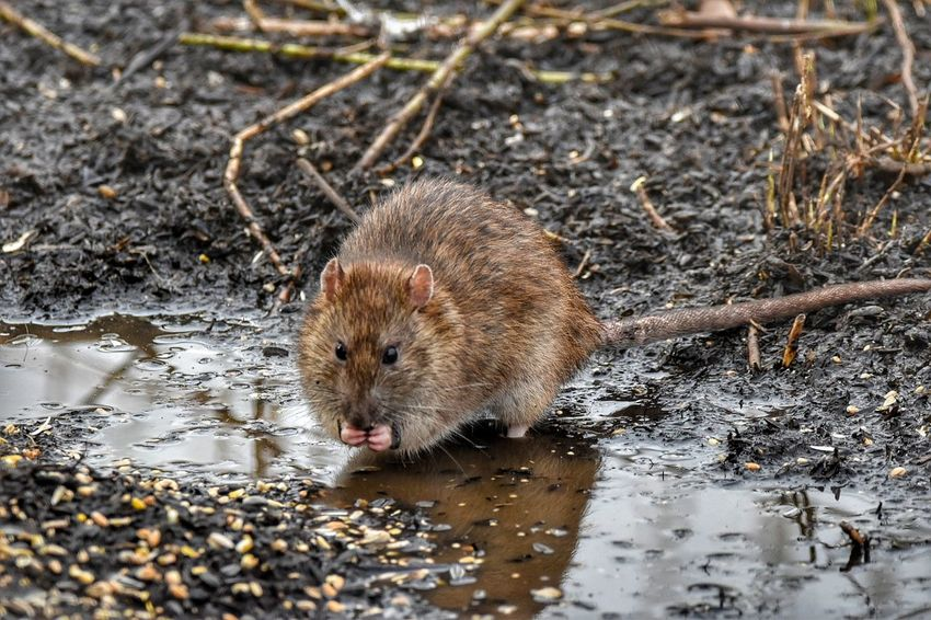 brown rat One Animal Animals In The Wild Animal Themes Animal Wildlife Water Mammal Wet Outdoors Nature No People Rodent Rat Nature Reserve Wildlife Photography Sigma150-600c NikonD5500