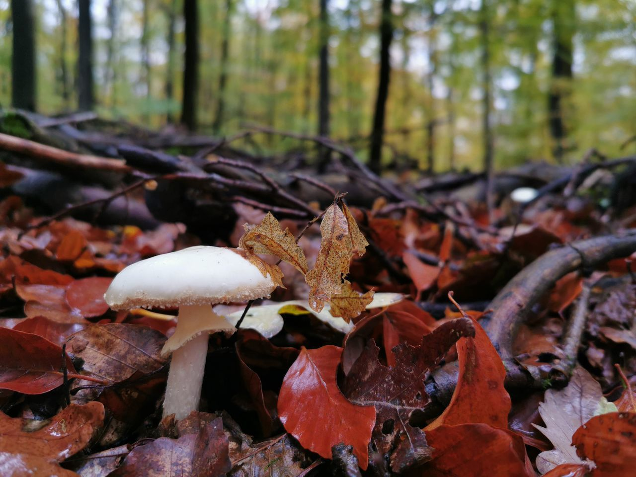fungus, mushroom, forest, tree, land, plant, growth, food, vegetable, toadstool, plant part, leaf, nature, beauty in nature, close-up, no people, focus on foreground, day, field, tranquility, outdoors, change, woodland, leaves, surface level