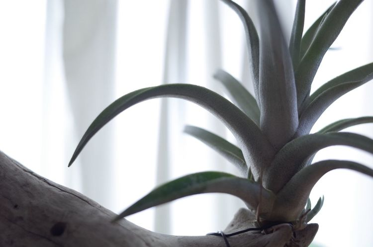 チランジアのシャツリー(schatzlii)。私はこの葉の質感が好きです。 Tillandsia Airplants Leaf Close-up Potted Plant Houseplant Plant Growth Green Color Focus On Foreground Geometric Shape No People Freshness Fragility