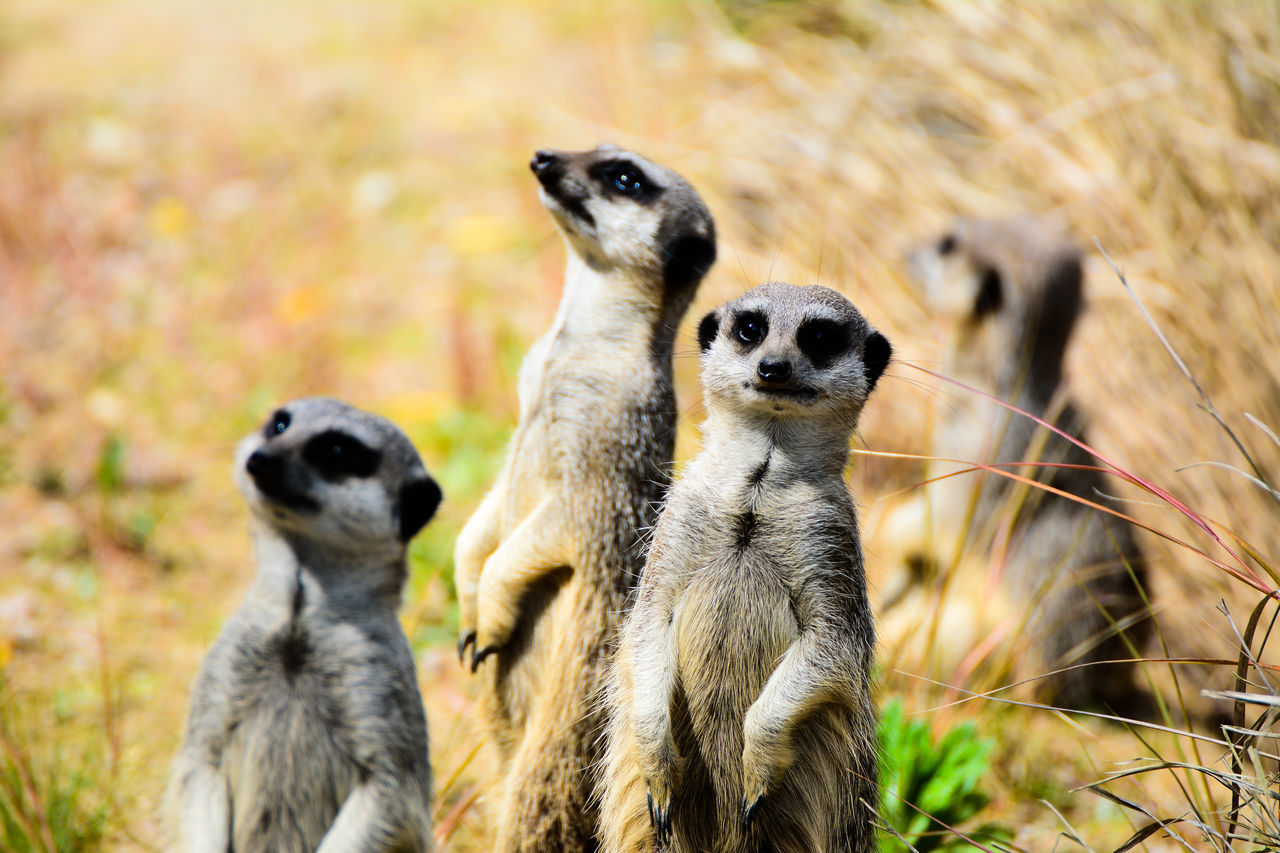 animal wildlife, animal themes, animals in the wild, meerkat, mammal, no people, standing, day, nature, lemur, focus on foreground, outdoors, sitting, grass, close-up