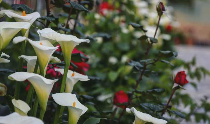 White Lines Calla Lily Arum Lily  Red Roses Flower Collection Taking Photos Feeling Creative OpenEdit EyeEm Best Shots Freshness EyeEm Nature Lover Nature Flower Flower Head Springtime Close-up Plant In Bloom Blooming