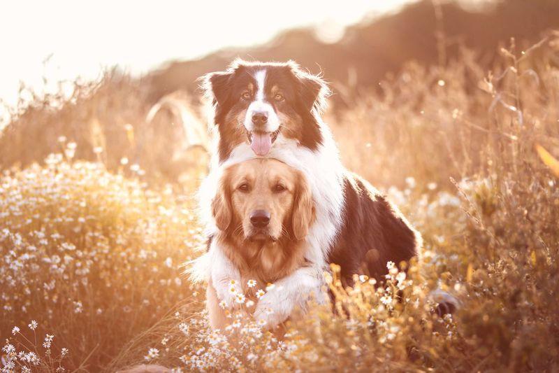 Golden hour ☀️ Australian Shepherd  Golden Retriever Hundefotografie One Animal Mammal Animal Themes Canine Dog Animal Pets Domestic Animals Nature Sunlight Portrait