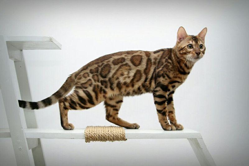 Mycat Hello World Pets Animals Cute Pets Bengal Cat Cats My Cats Meow Animal