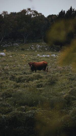 Cow Farm Nature