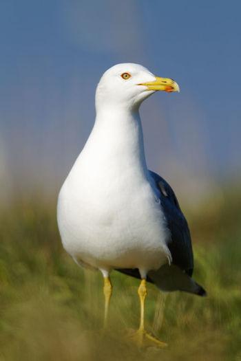 Yellow-legged gull colony on brijuni national park