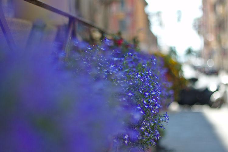 Blue Botany Flowerbox Garden Nature Pretty Small Springtime Street