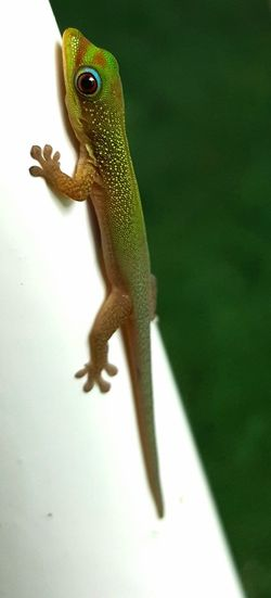 Gecko on our lanai The00Mission Green Color Reptile Photography Hawaii Travel Destinations Baby Animals