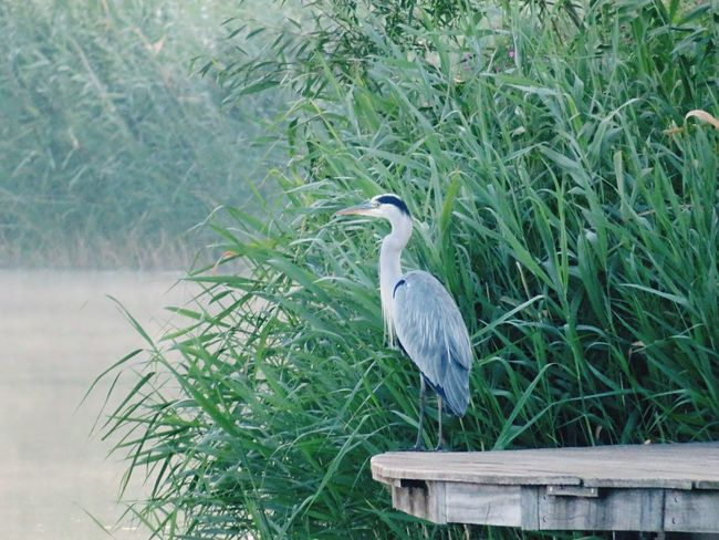 morning shot Heron One Animal Gray Heron Animal Themes Bird Great Blue Heron Animals In The Wild Day Animal Wildlife Plant Perching Nature Green Color Growth Outdoors No People Beauty In Nature Grass Crane - Bird EyeEm Nature Lover EyeEm Gallery 720mm
