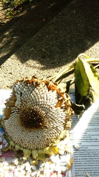 Autumn 2015 Urban Garden Harvest Sunflower Seeds Sunflower Dry Flower  Detroit, MI The Great Outdoors With Adobe