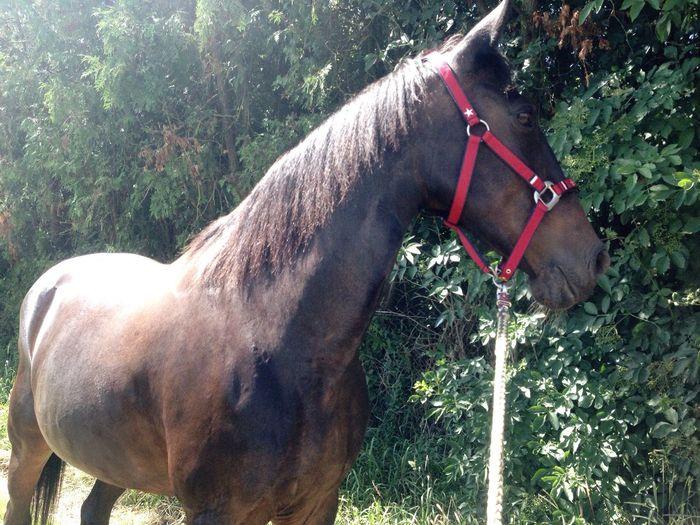 My horse. Horse Domestic Animals Working Animal No People Free Arabian Traber