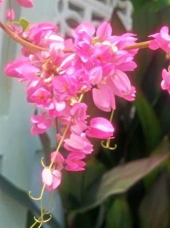Flower Pink Color Fragility Growth Beauty In Nature Petal Nature Close-up Plant Freshness No People Flower Head Day Outdoors Blooming พวงชมพู