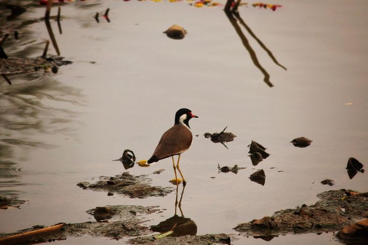 Red Wattled