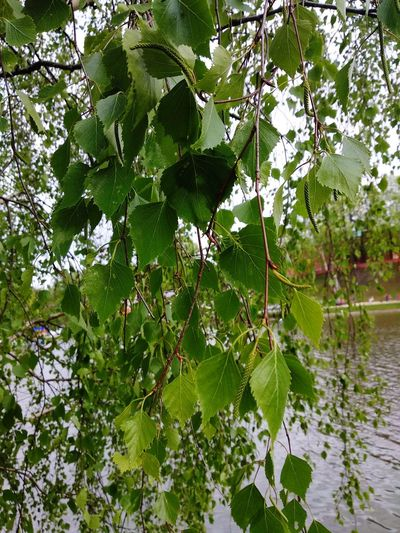 tree Tree Water Branch Leaf Lake Close-up Green Color Plant Standing Water Calm Arachnid Lily Pad Chachoengsao Jumping Spider Sandy Beach Countryside Spider Web Web Arthropod Ocean Puddle Lotus Water Lily Floating Lakeside Reflection Mid Distance Water Lily Prey Invertebrate Animal Leg