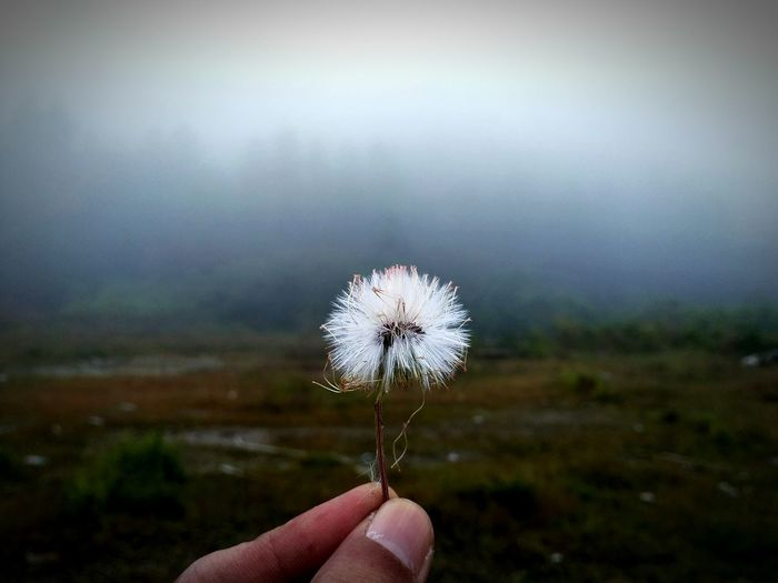 dandelion and fog in the morning Minimalism Minimal Minimalobsession Minimalist Photography  Lessismore Less Is More Feelings Close-up Uncultivated Fragility Outdoors Flower Plant Day Sky Beauty In Nature Tree