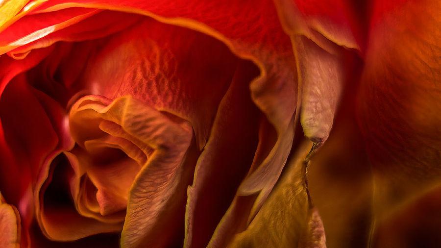Fujifilm X-M1 mit Cosina Cosinon-W 24mm 2.8 und KenkoExtensionTubes.... Makro Makro Photography Makro_collection Fiftyshades_of_nature Indoor_photograhy Jacquelineschreiber EyeEmMagazine Eyeemoninstagram Dofnature Fujifilmdeutschland Fujifilmxm1 Bokeh Rose - Flower Fujifilm Fujifilm_xseries Shotwithlove Magic_shots Fujifilmglobal Backgrounds Textured  Red Close-up Flower Head Single Flower