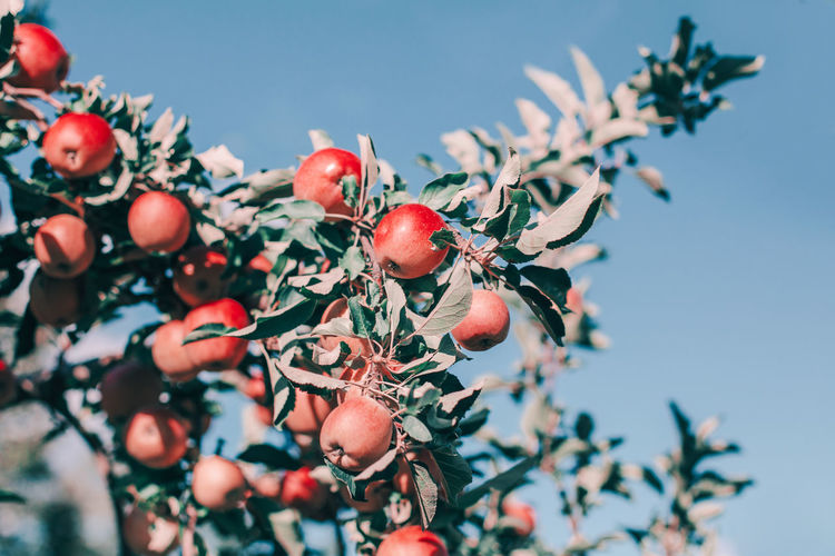 Red apples on branches in orchard against blue sky. organic fruits hanging on apple trees at farm
