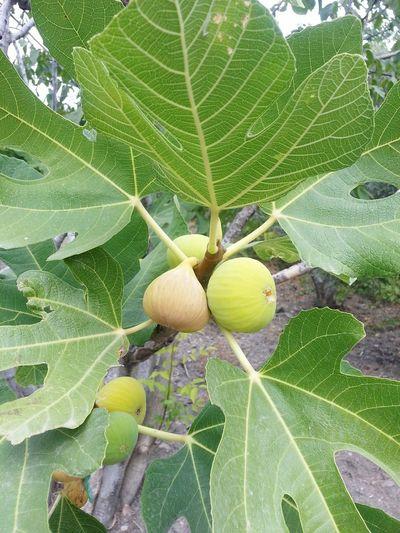Incir Ağacı Incir Meyvesi Incir Feigenbaum Feigenfrucht Feigen Ficus Tree Ficus Fruit Ficus Moraceae Figs