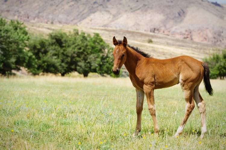 foal in field Field Farm Equine Young Animal Brown Green Grass Quarter Horse Baby Horse Horse Photography  Horses Rural Cute Animals Cute Baby Animals Standing Full Length Rural Scene Portrait Grass Landscape Foal Horse Pony Herbivorous Grass Area Paddock Livestock