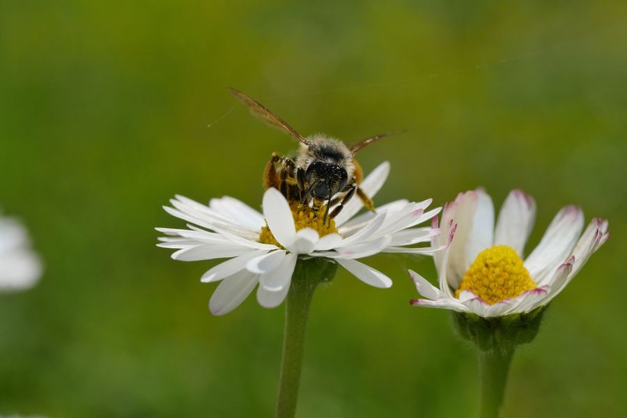Daisy Bee Nature Wildbee HoneyBee Macro Perspectives Taking Photos Animal Themes Insects  Fragility From My Point Of View Outdoors Close-up No People In Bloom Every Flower Is A Soul Flowers Nature On Your Doorstep Close Up Daisies Animals Animals In The Wild