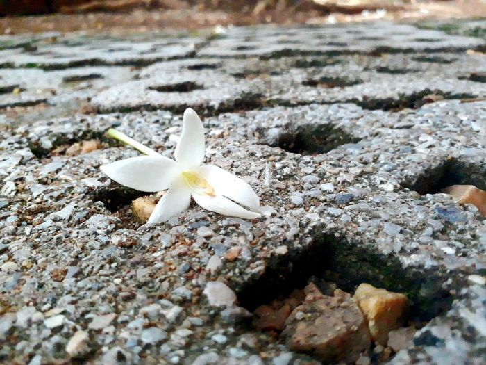 Nature Fragility Beauty In Nature Close-up Day Outdoors No People Flower Sand Growth Flower Head Beach Frangipani