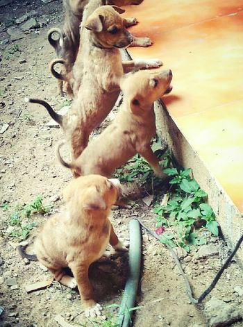My Year My View Animal Themes Dog Outdoors Togetherness Domestic Animals Pets No People Mobile_photographer Puppies Playing Puppies👌😍😍✌❤💗😜👍 Cute Puppy Eyemgallery Redmi2photography EyeEm Gallery Eyeemmarket