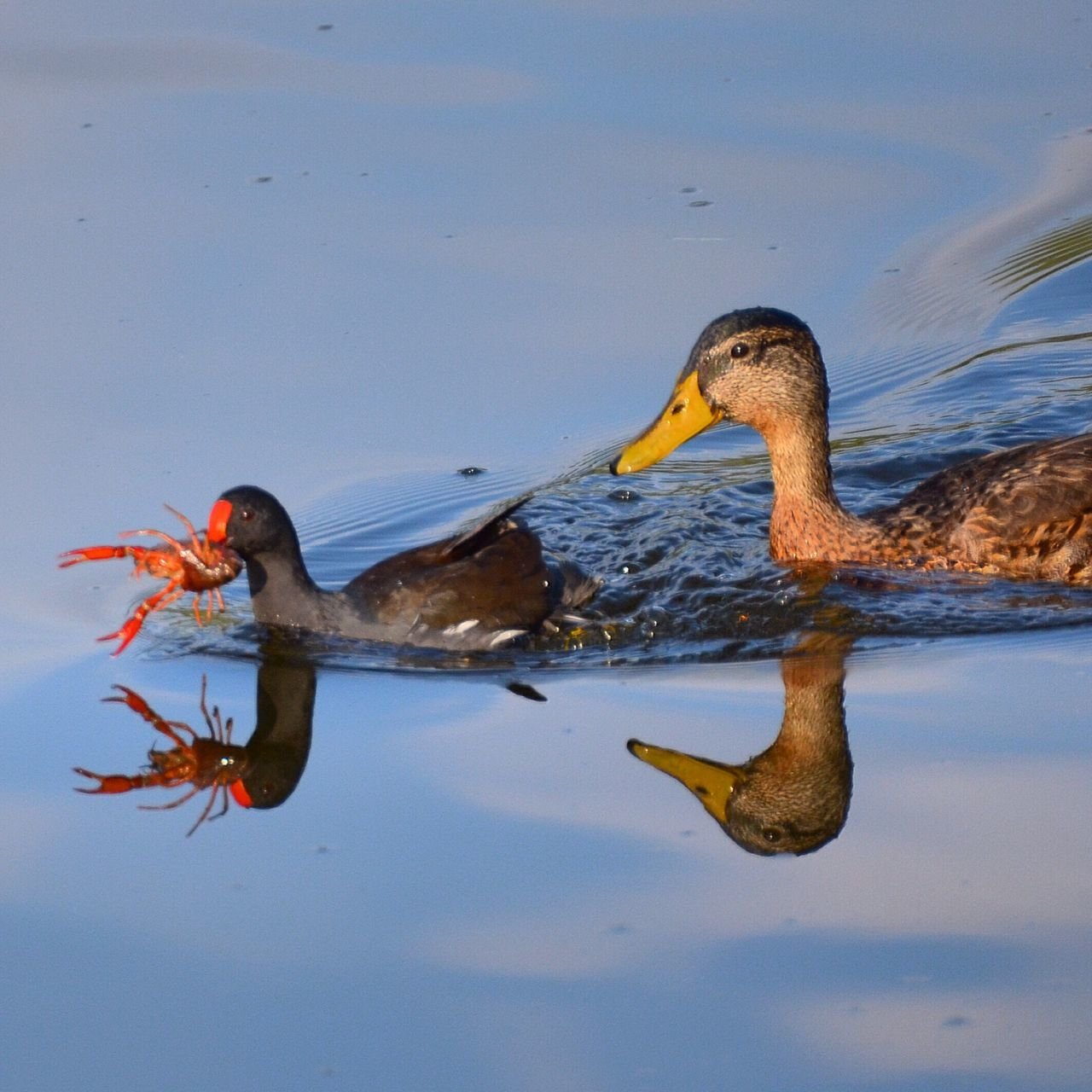 High Angle View Of Duck Carrying Lobster In Mouth While Swimming In Lake