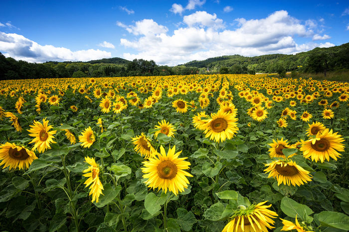 flower power Agriculture Beauty In Nature Black-eyed Susan Blooming Cloud - Sky Day Field Flower Flower Head Fragility Freshness Growth Landscape Mountain Nature No People Outdoors Petal Plant Rural Scene Scenics Sky Tranquil Scene Tranquility Yellow