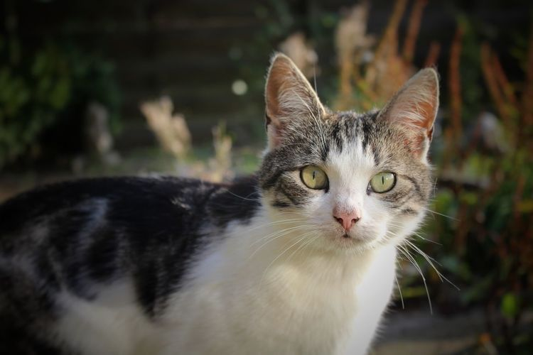 Pets One Animal Domestic Animals Domestic Cat Animal Animal Themes Portrait Cute Feline Animal Hair Eye Whisker Mammal Animal Head  Looking At Camera Ear Happiness Close-up Alertness Young Animal Cat Twodifferentcoloredeyes