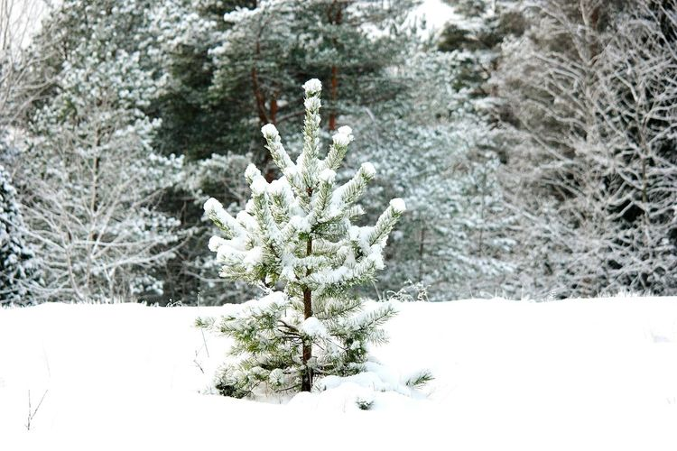 Snowy Trees Nature Photography Nature_collection Winter Forest Nature_ Collection  Snow Covered January Showcase: January Snow Covered Branch Winter Trees Snowy Winter_collection Winter Snow ❄ Cold Winter ❄⛄ It's Cold Outside Winter Day Winter 2016 Winter Season Wintertime