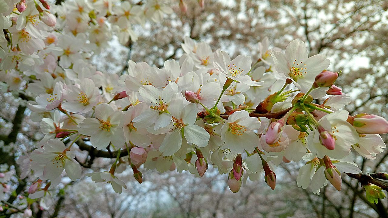 flower, plant, flowering plant, fragility, freshness, growth, vulnerability, beauty in nature, blossom, tree, branch, springtime, close-up, nature, petal, cherry blossom, day, no people, focus on foreground, fruit tree, outdoors, cherry tree, flower head, spring, pollen, bunch of flowers