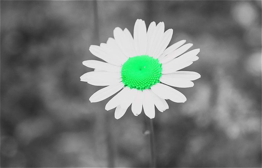 Its not what you look at that matters, its what you see. Beauty In Nature Close-up Daisy Focus On Foreground Fragility In Bloom June Showcase My Prespective Nature Notes From The Underground Petal Selective Editing Selective Focus Splash Of Colors The Innovator