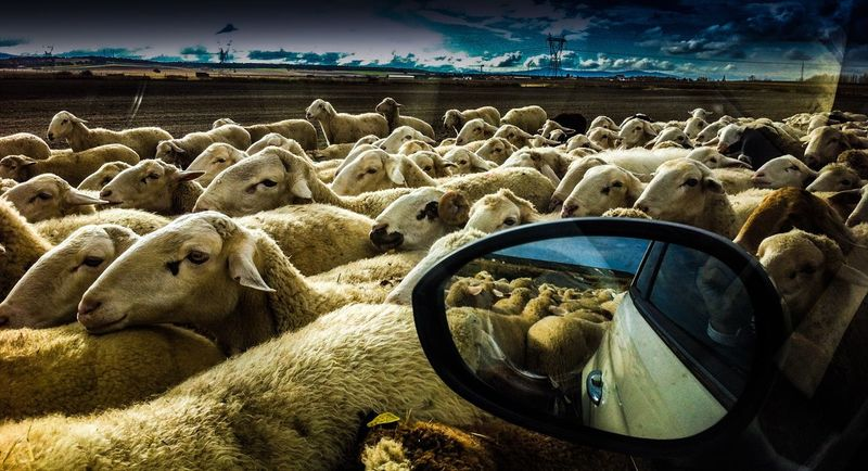 Animal Themes Sheep Sheep Flock On The Road Mirror Obejas Rebaño Nature Nature_collection Lamb EyeEm Best Shots EyeEm Nature Lover The Drive Beautifully Organized Enjoy The New Normal My Year My View Traveling Finding New Frontiers Animals Traveling Home For The Holidays