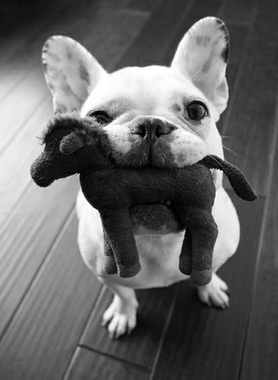 Dog Sweet♡ His Toy Cheese! Black & White Photography Takie Tam Uszy Animal Love