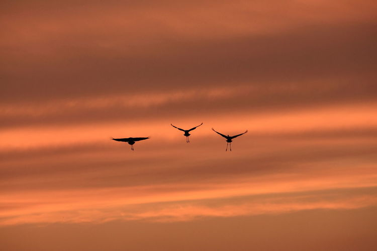 Low angle view of silhouette cranes flying against cloudy sky