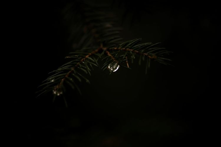 Close-up of pine tree against black background