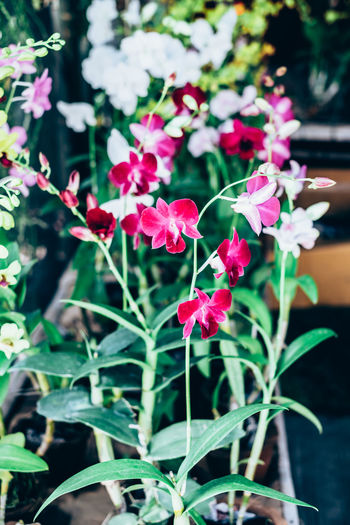 ground orchids Copy Space Gardening Orchid Backgrounds Beauty In Nature Blooming Close-up Day Flower Flower Head Fragility Freshness Fuschia Ground Growth Leaf Nature Outdoors Petal Pink Color Plant Potted Plant Red Row Selective Focus