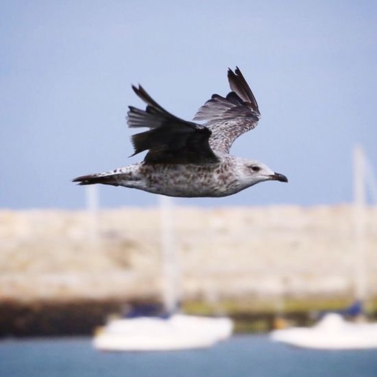 Seagull in mid-air against sky