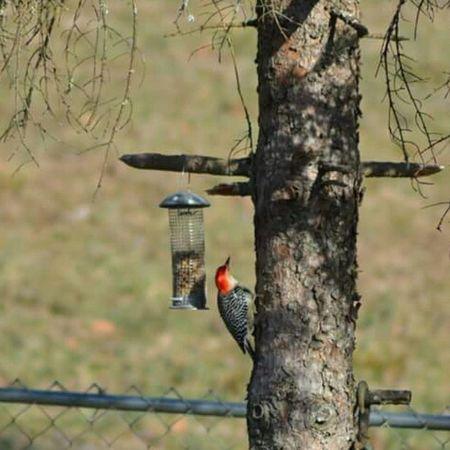Woodpecker Nature_cuties Birdfeeders Igers_of_wv alumcreek bestnatureshot westvirginia wv_igers
