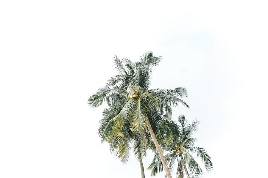 Phuket Thailand Beauty In Nature Clear Sky Close-up Coconut Island Day Growth Low Angle View Nature No People Outdoors Palm Tree Sky Tree White Background