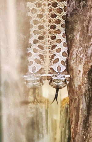 Exploring and reflection Animal Themes Snake Hognose One Animal Close-up Animal Wildlife Nature Day No People Reptile Exploring Reflection Glass Vivarium Pet Herpetology Hatchling Beauty In Nature Pet Portraits