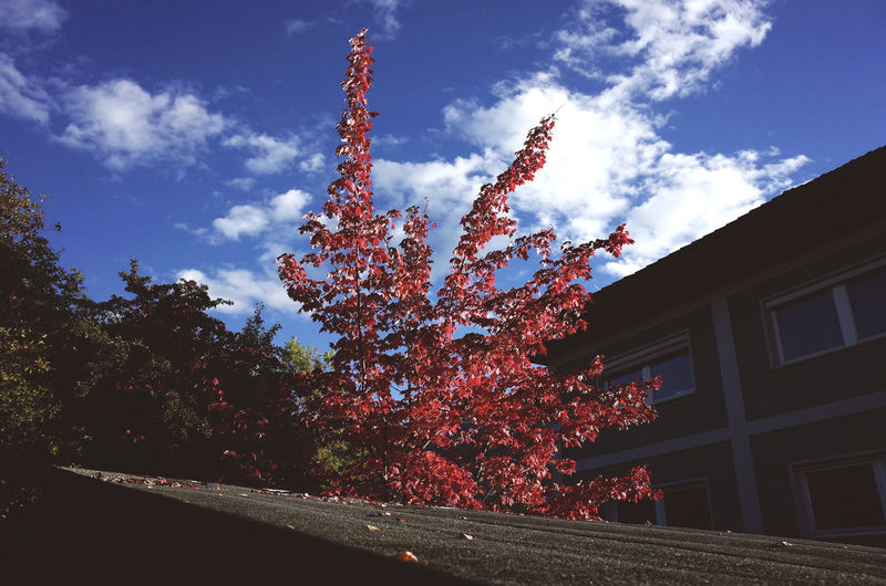 autumn colors Autumn Autumn Colors Blue Building Exterior Built Structure City Garden Cloud Day Garden Growing Growth Low Angle View Outdoors Red Season  Single Tree Tree Dramatic Angles Urban Landscape Urban Nature Window