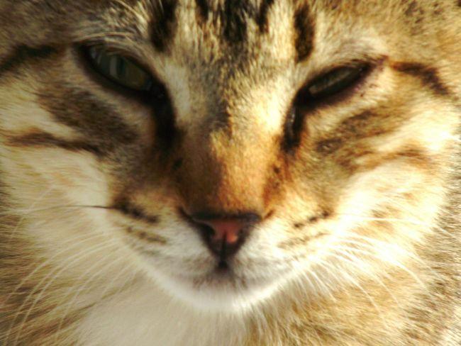 One Animal Animal Themes Domestic Cat Cat Domestic Animals Pets Feline Whisker Cute Cat Santorini Perissa Cats