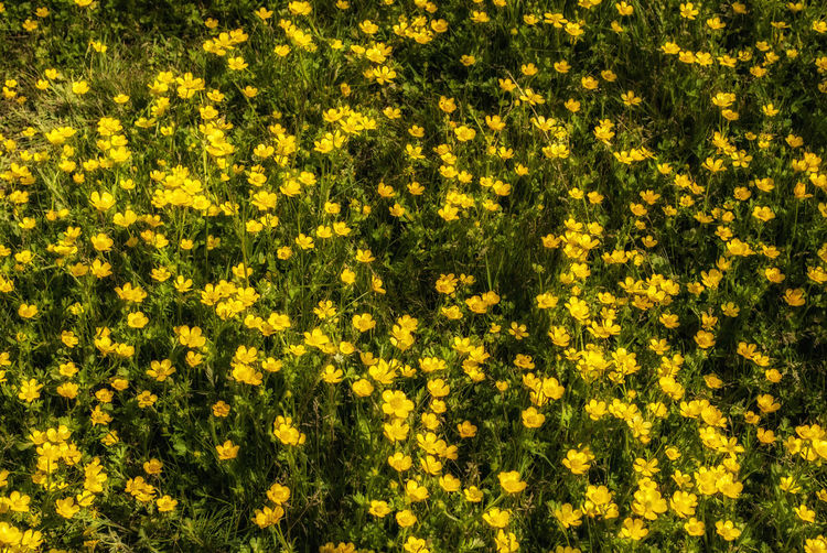 Full frame of yellow flowers growing in field