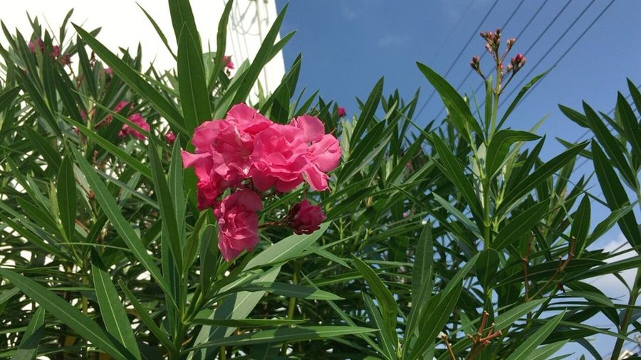 Kyoto Summer Flower Summer Flowers Nerium Oleander Oleander Nerium Oleander Var. Indicum