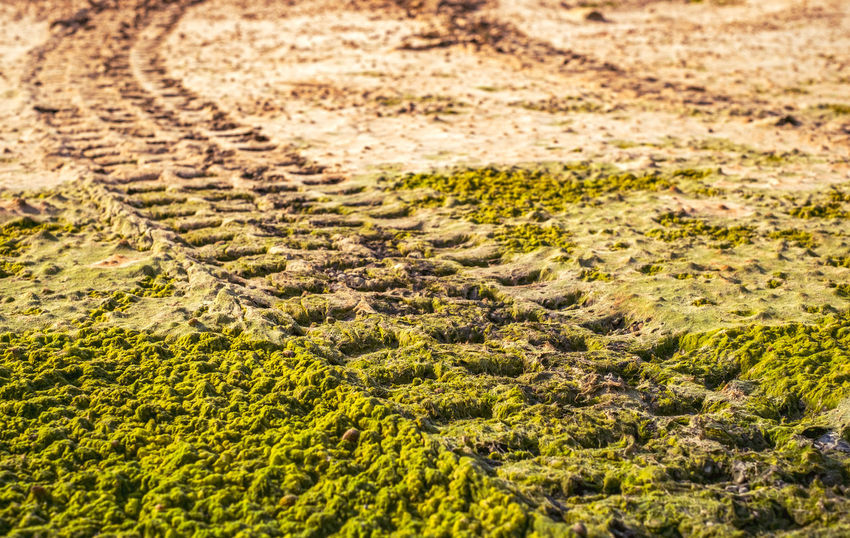 Off road car tyre track on sandy beach with algae Algae Algae On The Beach Algae Water Backgrounds Car Tyre Car Tyres Close-up Day Full Frame Green Algae Nature No People Off Road Outdoors Sand Tracks Sand Trails Sandy Beach Textured  Track