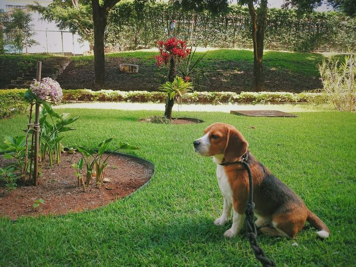 Nature Beagle Dog EyeEm City Pets Beagle Dog Animal Themes Domestic Animals Beagles Of Eyyem Beaglelovers Light And Shadow Contrasts One Animal Wallpaper