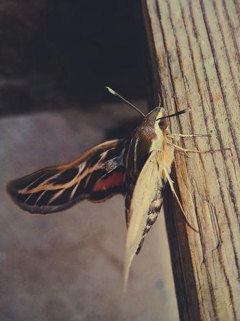 Large and beautiful moth Large Beautiful Moth Macro Israel Sjmike Meizumx4
