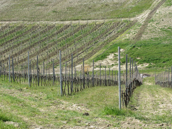 Scenic view of rolling hillside with vineyards . Tuscany, Italy Agriculture Bare Country Farm Field Grass Plant Rural Tuscany Winter Cold Countryside Dormant Grapes Hill Italy Landscape Pruned Row Season  Stake Stem Vine Vineyard Wine