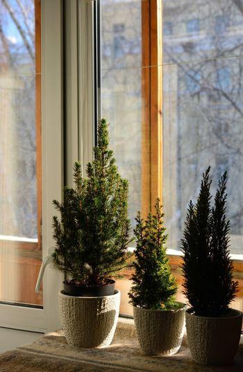 Tree Window Plant No People Nature Day Indoors  Close-up зима кипарис елкавсадик дерево окно Nature