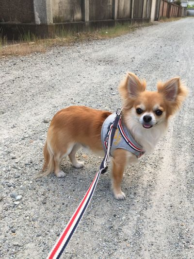 Dog Domestic Animals Pets Animal Themes One Animal Mammal Pet Leash Outdoors Dog Lead Pet Collar Day No People Portrait Close-up Niko Chihuahua Family